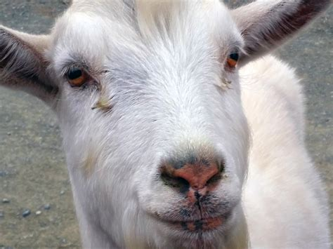 Why Giving Raw Goat's Milk To Your Dog Will Enhance Their